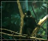 Black Leaf Monkey by Jimbobedsel, photography->animals gallery