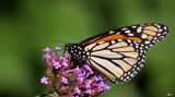 Garden Ornamental_The Monarch by tigger3, photography->butterflies gallery