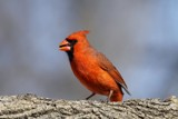 Simply red.... by egggray, photography->birds gallery