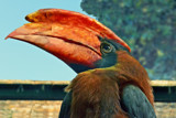 Rufous Hornbill by Ramad, photography->birds gallery
