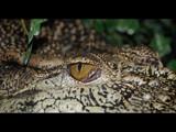 Crocodile's Eye by ederyunai, Photography->Reptiles/amphibians gallery