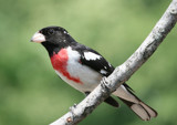 Rose Breasted Grosbeak by egggray, Photography->Birds gallery