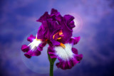 Magenta Iris by stylo, photography->flowers gallery