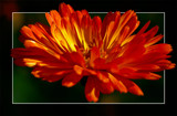 Explosion by corngrowth, photography->flowers gallery