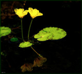 Reflections On The Lily Pond by tigger3, photography->flowers gallery