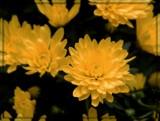Lemon Sunshine by trixxie17, photography->flowers gallery