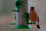 Bullfinch by Ramad, photography->birds gallery