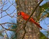 Cardinal by JEdMc91, Photography->Birds gallery