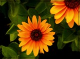Gloriosa Daisy by trixxie17, photography->flowers gallery
