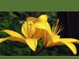 Lilies in Love by wheedance, Photography->Flowers gallery