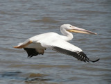 Pelican in motion by rahto, Photography->Birds gallery