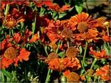Rudbeckia by trixxie17, photography->flowers gallery