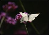 Piggy Back by Jimbobedsel, photography->butterflies gallery