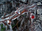 Frozen Berry by cdbuckmaster, Photography->Nature gallery