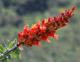 the flowering tips of the ocotillo cactus by jeenie11, Photography->Flowers gallery