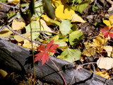 Fallen Leaves by ChuPat, Photography->Nature gallery