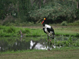 saddle billed stork by jeenie11, Photography->Birds gallery