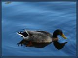 Mr. Mallard by muki7, Photography->Birds gallery