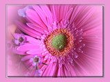 Touched By Pink by LynEve, Photography->Flowers gallery