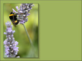 Gathering Nectar Desktop by LynEve, photography->insects/spiders gallery