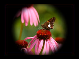 One From The Gardens by tigger3, Photography->Butterflies gallery