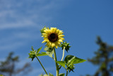 Sunflower On Blue by tigger3, photography->flowers gallery