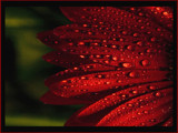 Gerbera Tears by casson, Photography->Flowers gallery