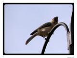 Little Rascals II - I Tawt I Taw A Puddy Tat by Hottrockin, Photography->Birds gallery