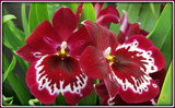 Red Orchids by trixxie17, photography->food/drink gallery