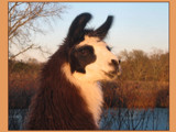 Llama at Dusk-1 by Anita54, Photography->Animals gallery