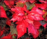 Traditional Poinsettia by trixxie17, holidays->christmas gallery