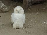 Snowy Owl by Bsm1, photography->birds gallery