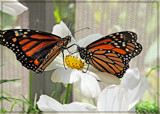 Feuding Monarchs by trixxie17, photography->butterflies gallery