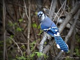 Bluejay by GIGIBL, photography->birds gallery