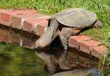The Snapping Turtle #2 by tigger3, photography->reptiles/amphibians gallery