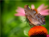 Butterflies Are Free by tigger3, photography->butterflies gallery