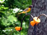 Icterus galbula by Hottrockin, Photography->Birds gallery
