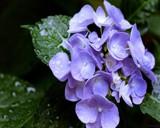 Purple Hydrangeas by ladyturtle27, Photography->Flowers gallery
