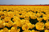 A yellow Tulips sea by Paul_Gerritsen, Photography->Flowers gallery