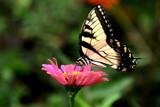Fraser's Garden by jeenie11, photography->butterflies gallery