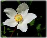 Anemone by trixxie17, photography->flowers gallery