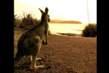 Kangaroo Beach by katty08, Photography->Animals gallery