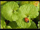 ladybug by kodo34, Photography->Insects/Spiders gallery