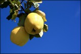 Quince against a blue sky by LynEve, photography->nature gallery
