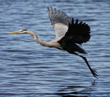 The Blue Heron_Lift off by tigger3, photography->birds gallery