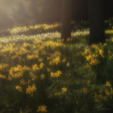 The Daffs of Duthie Park by goggs, photography->flowers gallery