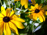 black eyed susan by jesusfreaknd, Photography->Flowers gallery