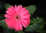 Gerbera in Pink by LynEve, photography->flowers gallery