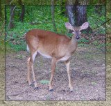 White Tailed Doe by ccmerino, photography->animals gallery