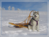 Sled Dog Poser by jodie38mader, Photography->Pets gallery